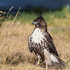 Red-tailed Hawk: One Big Meal by John Williams