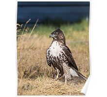 Red-tailed Hawk: One Big Meal Poster
