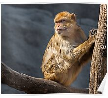 Macaque portrait Poster