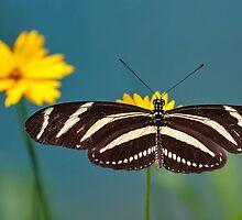 Zebra Longwing (Heliconius charithonia) by Balint Takacs