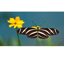 Zebra Longwing (Heliconius charithonia) Photographic Print