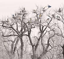 Great Blue Heron Colonies by Bo Insogna