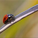 First Spring Lady Bug by Chet  King