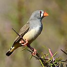 Zebra Finch (Female) taken at the Living Desert Park near Broken Hill by Alwyn Simple
