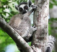 Wild Baby Ringtailed Lemur by CharlotteMorse