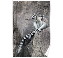 Mother & baby Ringtailed Lemur - Madagascar Poster