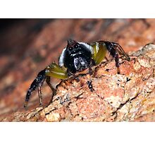 Jumping spider. Photographic Print