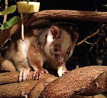 My ringtail possum by camycalla