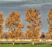 Poplars - HDR by Stefanie Köppler