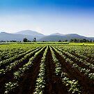 Cotton field by Joseph D'Mello