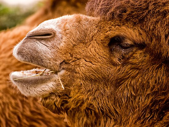 Bactrian Camel (Camelus bactrianus) by Jay Lethbridge