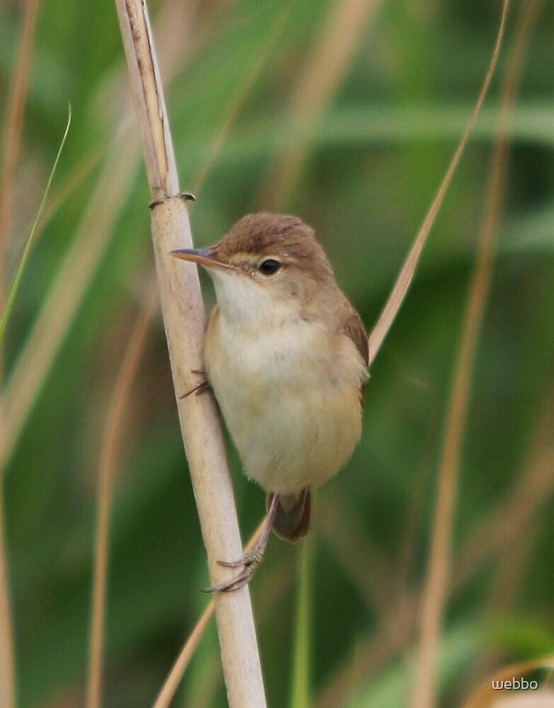 Reed Warbler by webbo