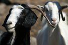 Yayla Goats by Jens Helmstedt
