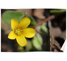 Yellow Woodsorrel Poster