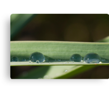 Spring drops Canvas Print