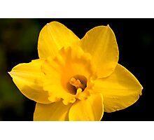 Sunny Daffodil Photographic Print