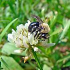 Bumblebee on White Clover by MotherNature