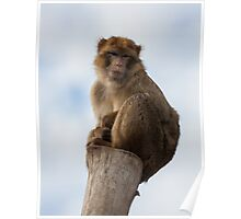 Lonely macaque Poster