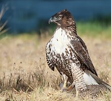 Red-tailed Hawk: A Successful Hunt by John Williams