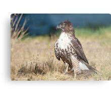 Red-tailed Hawk: A Successful Hunt Metal Print