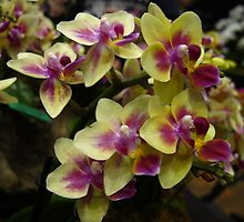 Glossy orchids by MarianBendeth