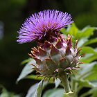 Scotch Thistle by Steve Bass