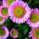 Pink Daisies by Silken Photography