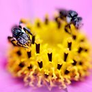 Native bee on a pink flower by cathywillett