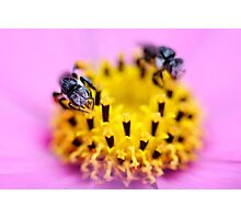 Native bee on a pink flower Photographic Print