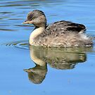 Hoary-headed Grebe taken near White Cliffs by Alwyn Simple