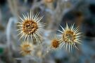 Thistle by Jens Helmstedt