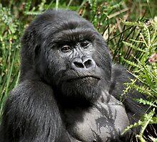 Wild Mountain Gorilla by CharlotteMorse