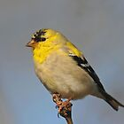 Goldfinch by photosbyjoe