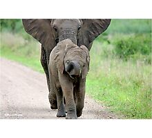 I CAN'T WALK FASTER! THE AFRICAN ELEPHANT – Loxodonta Africana - Afrika Olifant Photographic Print