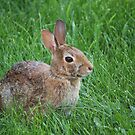 Backyard Bunny by Keeawe