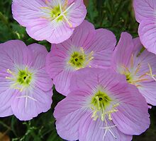 Showy Evening Primrose by WildestArt