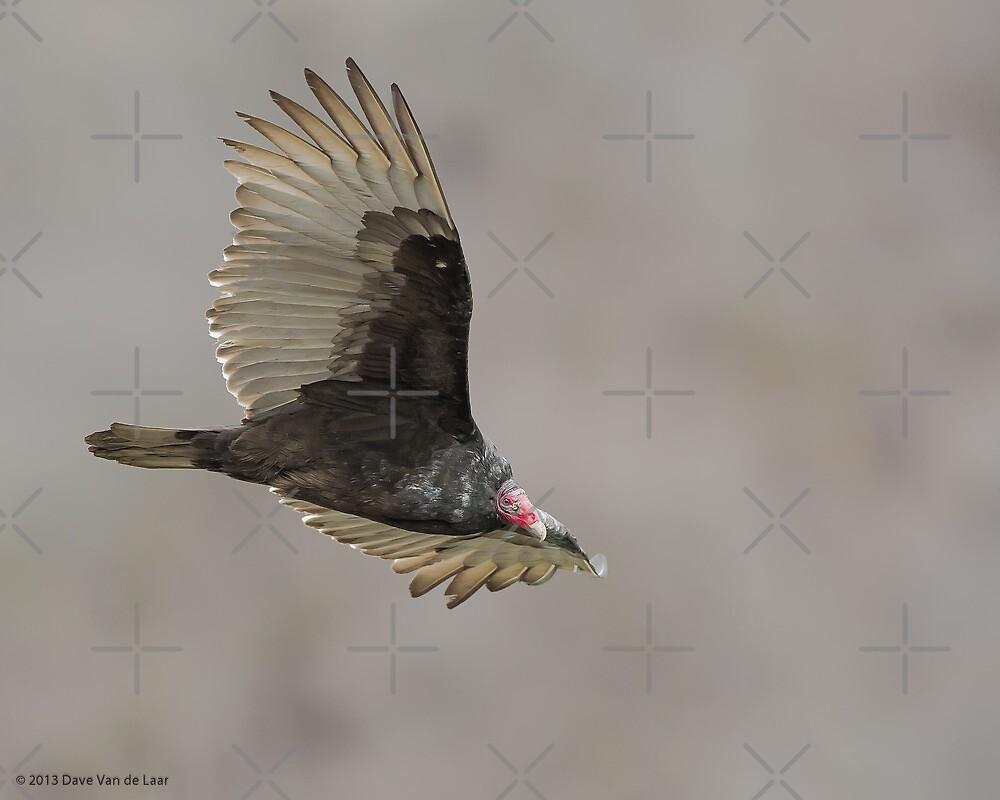Turkey Vulture by (Tallow) Dave  Van de Laar