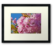 Beautiful pink cherry blossoms Framed Print