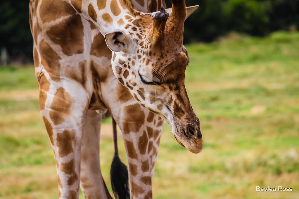 Rothchilds Giraffe by Bevlea Ross