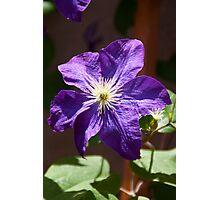 Jackmanii purple Clematis flower Photographic Print