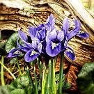 Dutch Iris by Sharon Woerner