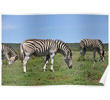 Zebra - South Africa Poster