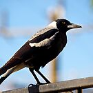 Australian native Magpie #1 by johnrf