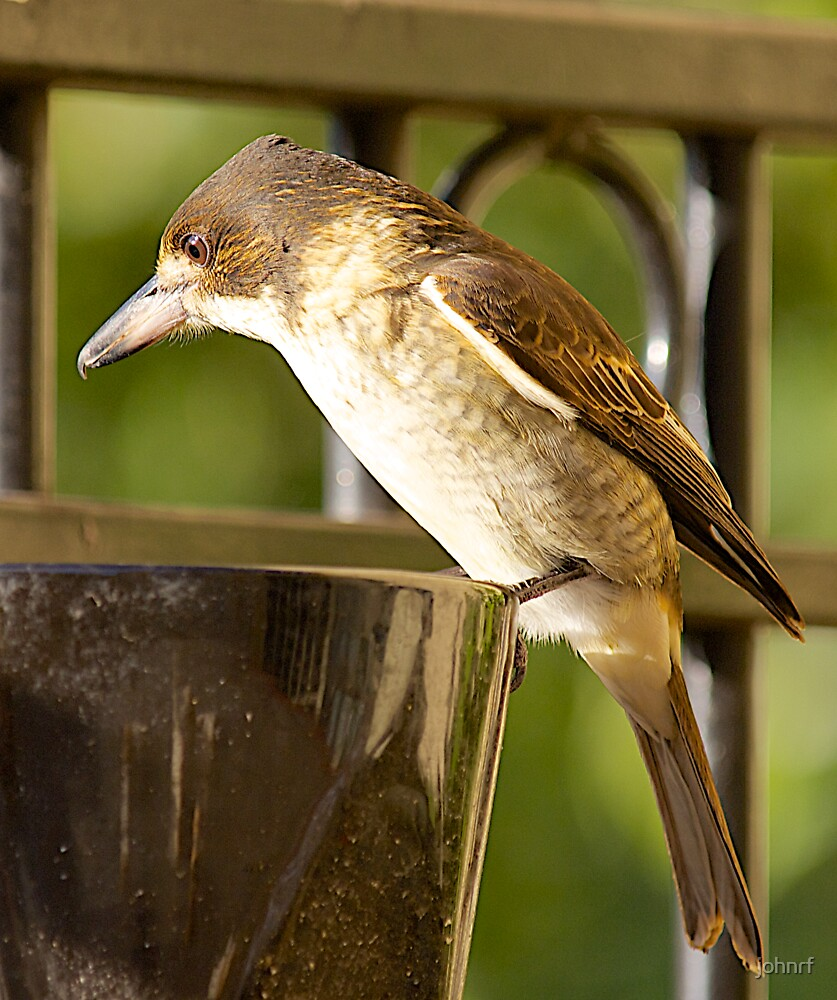 Australian native ButcherBird #1 by johnrf