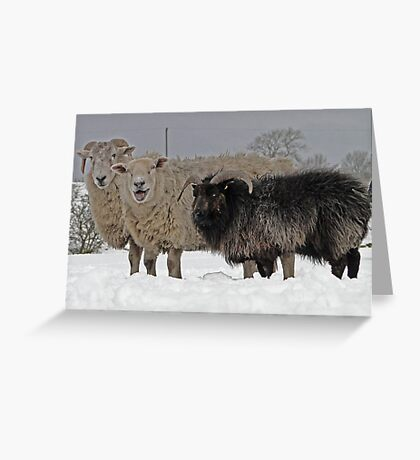 The Black Sheep Of The Family Greeting Card