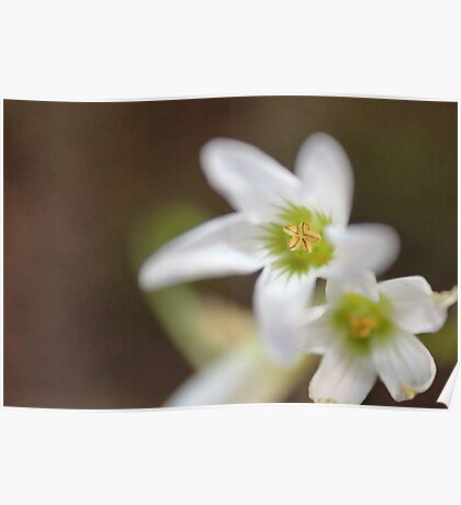 Oxalysis Flower Poster