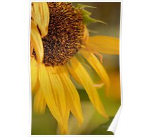 ...sunflower......... Poster