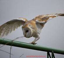Concentrating barn owl by MisterD