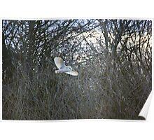 Patrolling barn owl Poster