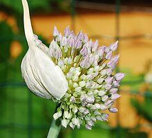 Flowering Allium by jojobob